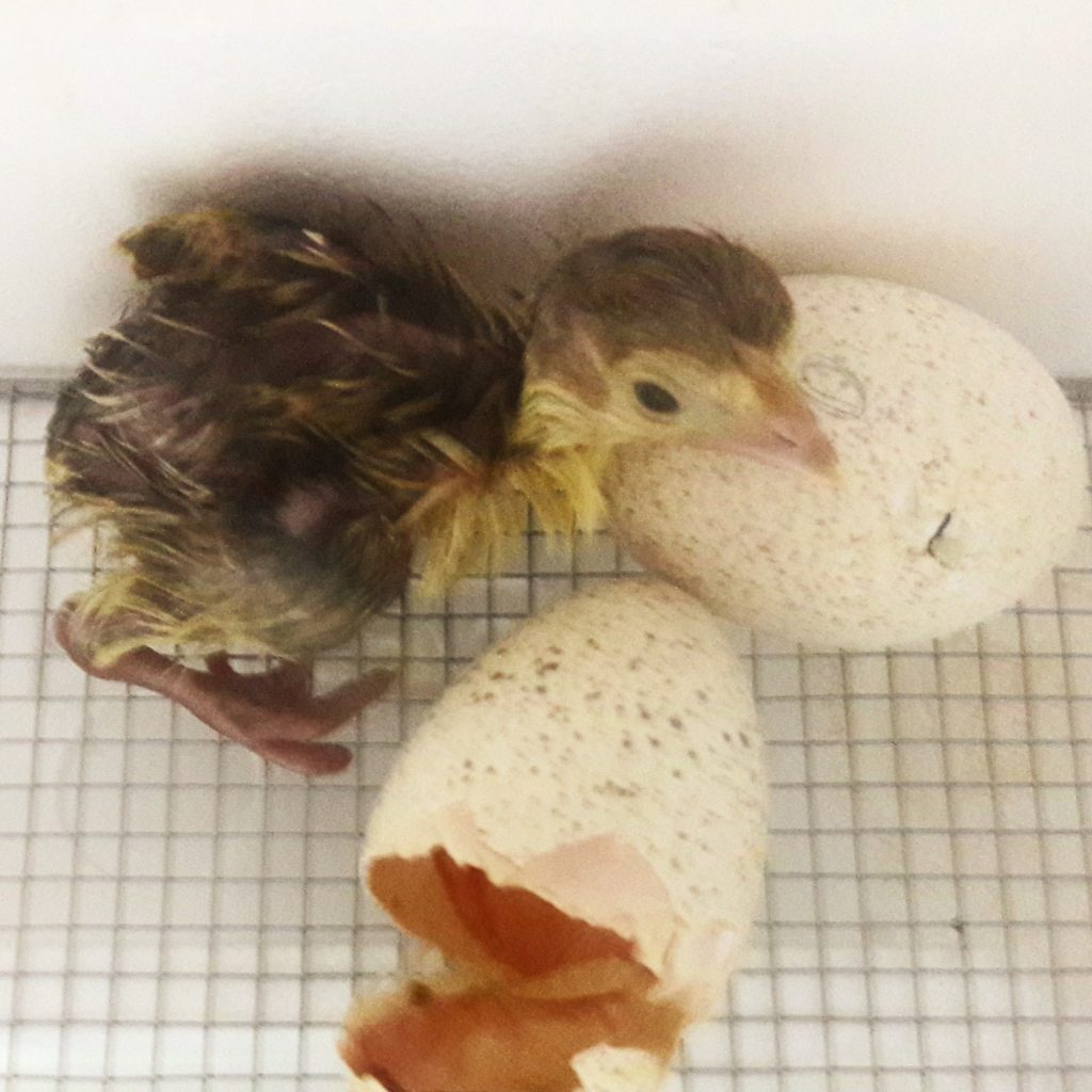 Hatching turkey poult, Bourbon Red turkey