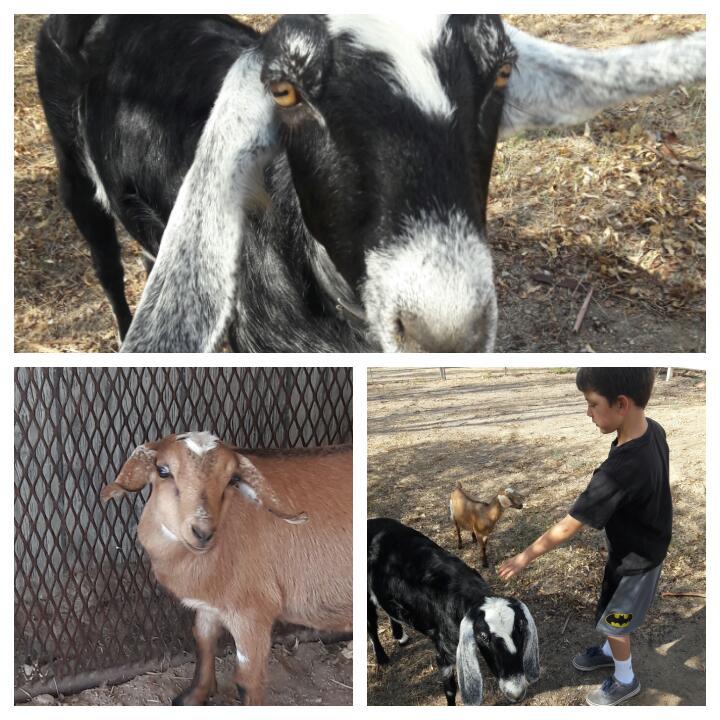 cutest miniature goats
